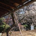 国内で唯一の一般公開されている徳川家の住まい、松戸の『戸定邸』に梅と河津桜を見に行ってきたよ
